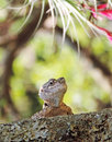 Close up of curious lizard (reptile) peeking out from lichen on tree Royalty Free Stock Photo
