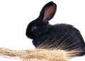 Close up of cute black rabbit eating green salad Royalty Free Stock Photos