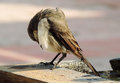Close up of cute brown bird preening itself on a bath its cleaning time Royalty Free Stock Photography