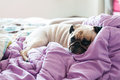 Close-up cute dog Pug puppy resting on her bed and open eye. Royalty Free Stock Photo