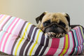 Close-up cute dog Pug puppy resting on her bed and watching to camera Royalty Free Stock Photo
