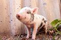 Close-up of a cute muddy piglet running around outdoors on the f Royalty Free Stock Photo