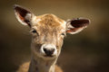 Close Up of Cute, Young Baby Deer with Funny Expression Royalty Free Stock Photo