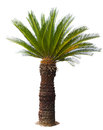 Close up Cycad palm tree isolated on white background usefor gar Royalty Free Stock Photo