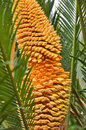 The close-up of cycad's male flower Royalty Free Stock Photo