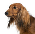 Close-up of a Dachshund, 4 years old, against white background Royalty Free Stock Photography