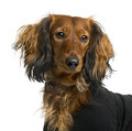 Close-up of a Dachshund dressed Royalty Free Stock Photo