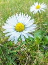 A close up of a daisy flower in the grass Royalty Free Stock Photography