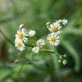 Close up Daisy Flowers Royalty Free Stock Photo