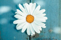 Close up of a daisy symbol of innocence shot from high angle Stock Photos