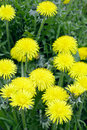 Close up dandelion flower garden spring saarland germany Stock Image