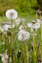 Close up dandelion flowers garden blooming spring saarland germany Stock Photo