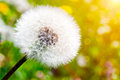 Close-up of dandelion on green sunny meadow. Spring Royalty Free Stock Photo