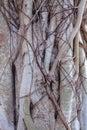 Close up detail of banyan tree roots the temple of the emerald buddha bangkok thailand Stock Image