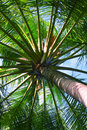 Close up detail of coconut tree a tropical palm variety found in maldive Royalty Free Stock Photo