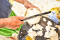 Close up detail of man hands cutting cocunut at the beach in asian tropical destination manual worker in real life situation poor Stock Photo