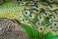Close up detail of peacock feathers Royalty Free Stock Photo