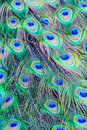 Close-up detail of a peacock's tail feathers. Royalty Free Stock Photo