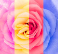 Close up detail of rose flower in multicolor blooming Royalty Free Stock Images