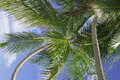 Close up detail of a tropical coconut palm tree variety found in maldive Royalty Free Stock Images