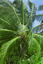 Close up detail of a tropical coconut palm tree variety found in maldive Stock Photos