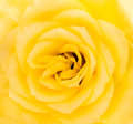 Close up detail of a yellow rose flower in blossom Stock Image