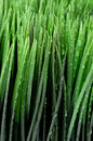 Close up of dew on green grass Royalty Free Stock Photo
