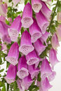 Close-up of digitalis Stock Photography