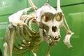Close up dinosaur skeleton in paleontology museum. Royalty Free Stock Photo