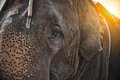 Close up do elefante Fotos de Stock Royalty Free