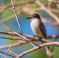 Close-up do Kingbird da boba Imagem de Stock Royalty Free