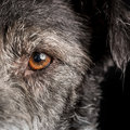 Close up Dog Half Face with Orange Eye Royalty Free Stock Photo