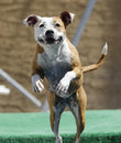 Close up of a dog jumping off the dock pitbull into pool Stock Photo