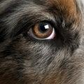 Close up of dog's eye Royalty Free Stock Photo