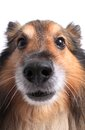 Close up on dog s face of a shetland sheepdog or sheltie and nose Royalty Free Stock Photos
