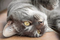 Close-up of domestic cat lying upside down Royalty Free Stock Photo