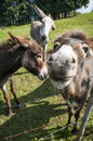 Close up of a donkey muzzle funny with other donkeys in the background Royalty Free Stock Photography