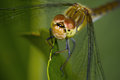 Close up of dragon fly on leaf Royalty Free Stock Image