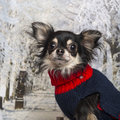 Close-up of a dressed-up Chihuahua Royalty Free Stock Photos