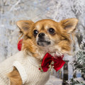Close-up of a dressed-up Chihuahua in a winter scenery Stock Image