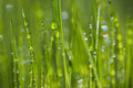 Close up of droplets of water on fresh green grass Royalty Free Stock Photo