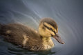 Close Up of Duckling Royalty Free Stock Photo