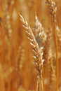 Close Up of Ear of Wheat Royalty Free Stock Photo