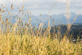 Close up of ecological corn field in tatra mountains poland Royalty Free Stock Image