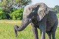 Close up of elephant with trunk on tusk Stock Images