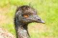 A close-up of an emu Stock Photos