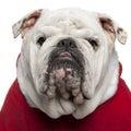 Close-up of English bulldog in Santa outfit Royalty Free Stock Photo