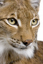 Close-up of a Eurasian Lynx's head Royalty Free Stock Photos