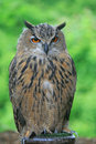 A close-up of European Eagle Owl Stock Photo