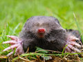 Close up of a european mole talpa europaea in natural habitat Royalty Free Stock Photography